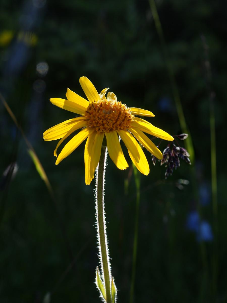 Arnica - gentle flower with great healing power
