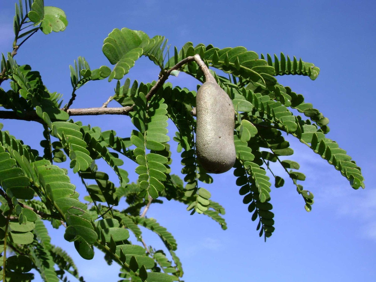 HP sauce contains tamarind extract. This is a tamarind tree and pod.
