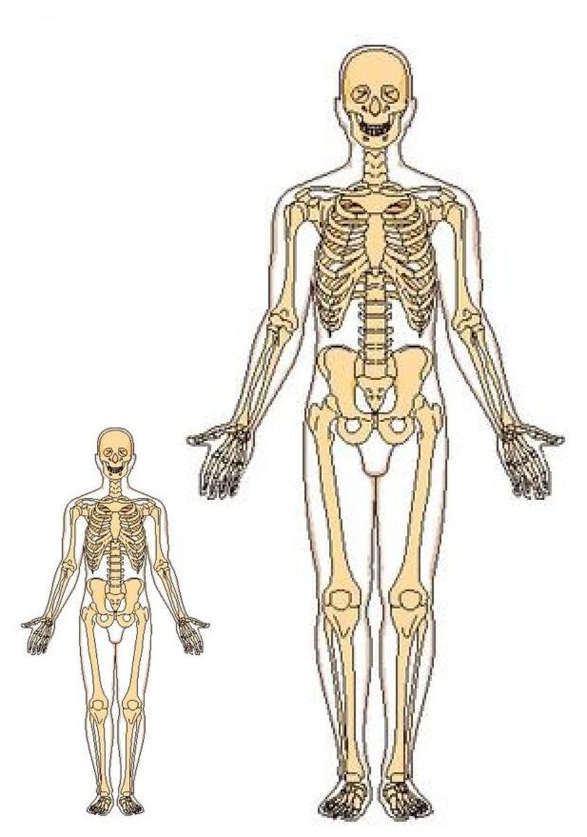 The diagram is a magnification of a human skeleton that does not compensate for necessary bone mass increase for a much greater mass of a larger human being. The figure on the right is twice the height of the one on left and 8 x more massive