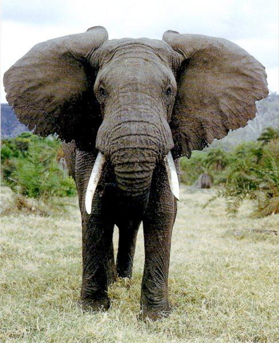 The African elephant is the largest land animal on earth today. As it is warm-blooded in a hot climate, it must radiate more heat than it takes in. The large fan like ears help to dissipate waste heat, as well as its bathing habits.