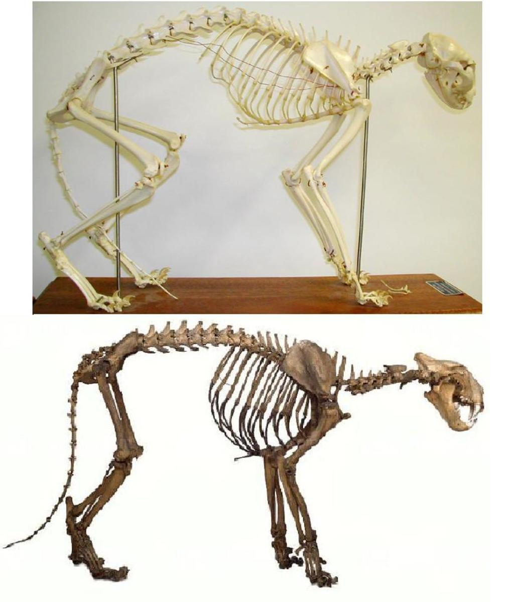 This comparative image of a house cat and tiger scaled to the same size shows the greater bone mass of the tiger more clearly than looking at them in their true size. The tiger is some 84 time more massive than the cat.