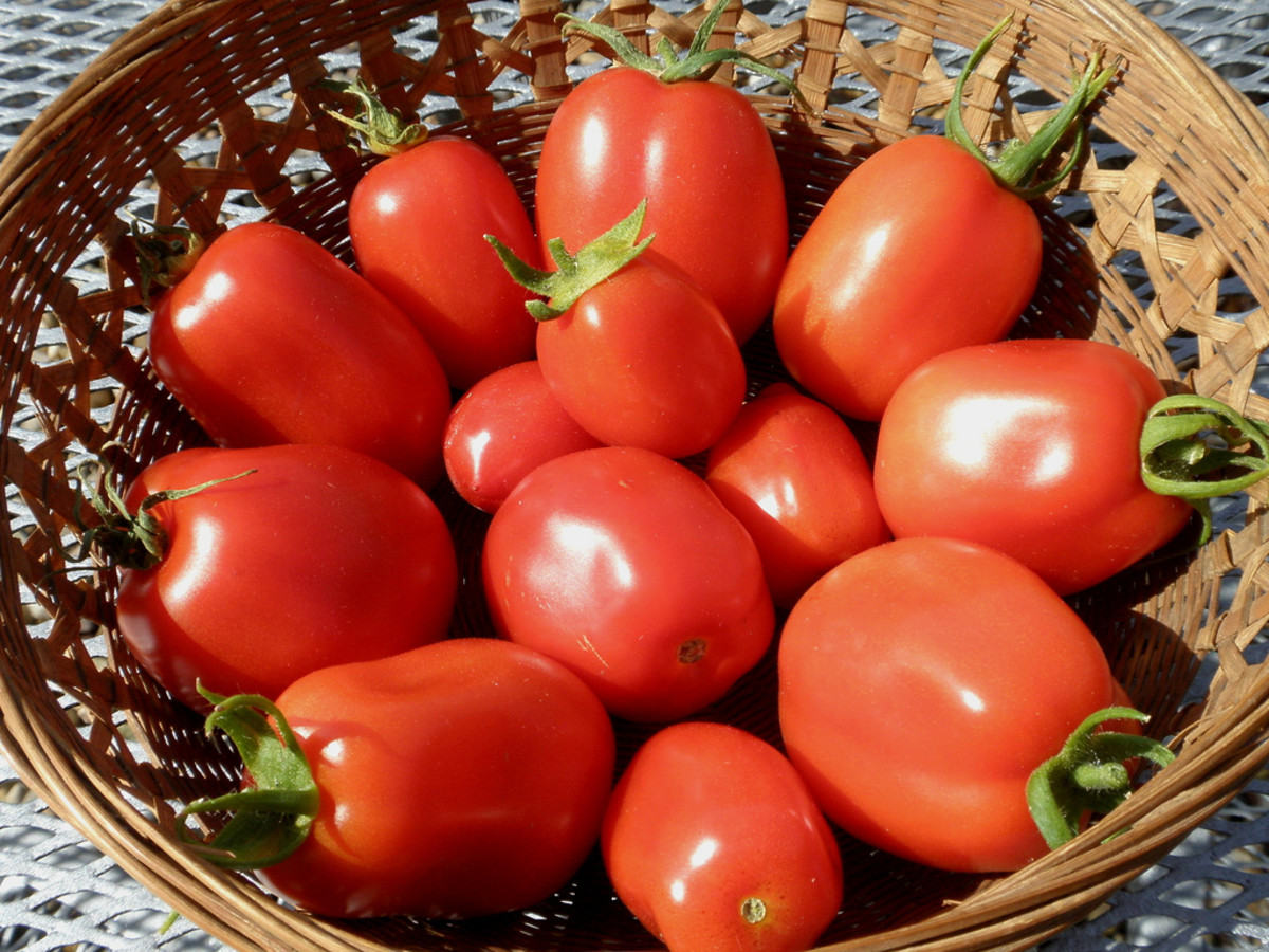 I have found Roma tomatoes to work the best for sauces