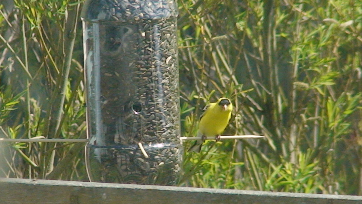 Goldfinch enjoying feed from a recycled pop bottle feeder.