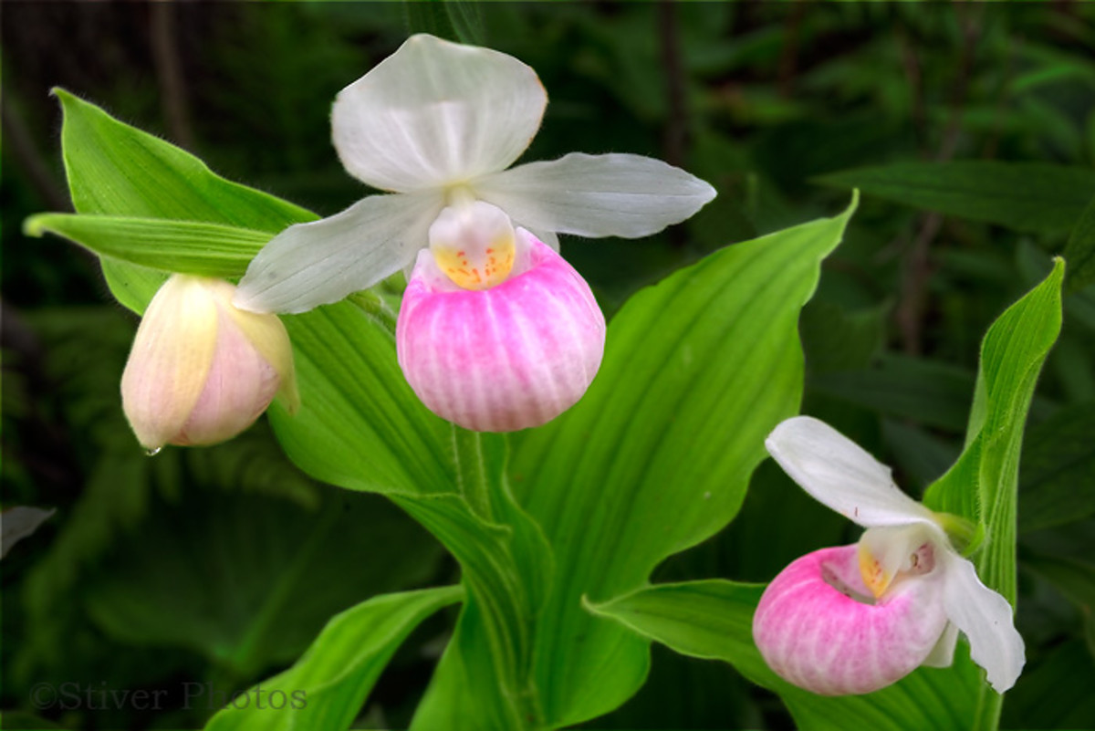howtogrowladysslipperorchidgrowingtips