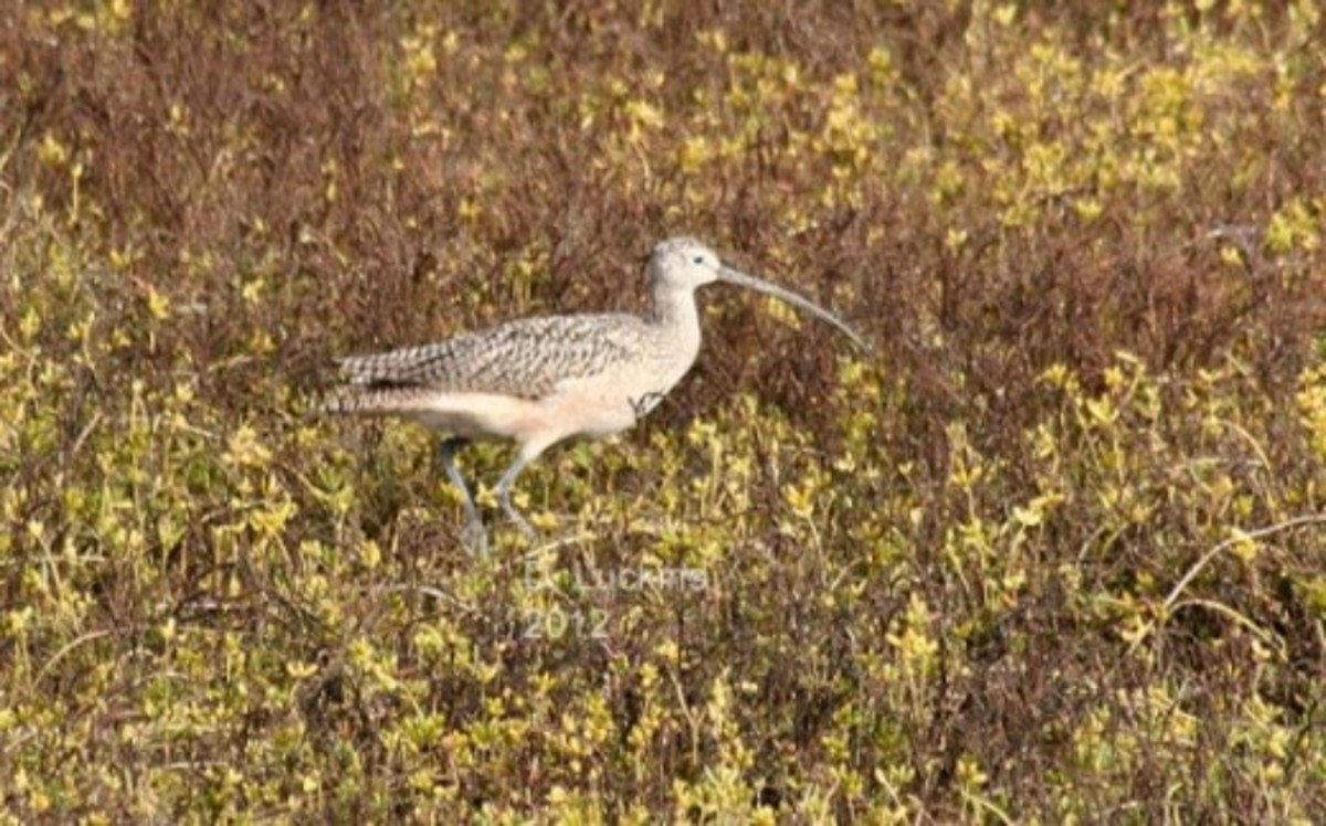 Long-billed curlew.