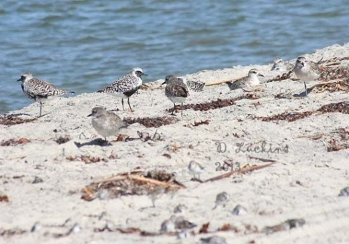Here is a photo of black-bellied plovers and some western sandpipers.  The plovers are just beginning to get their winter plumage.