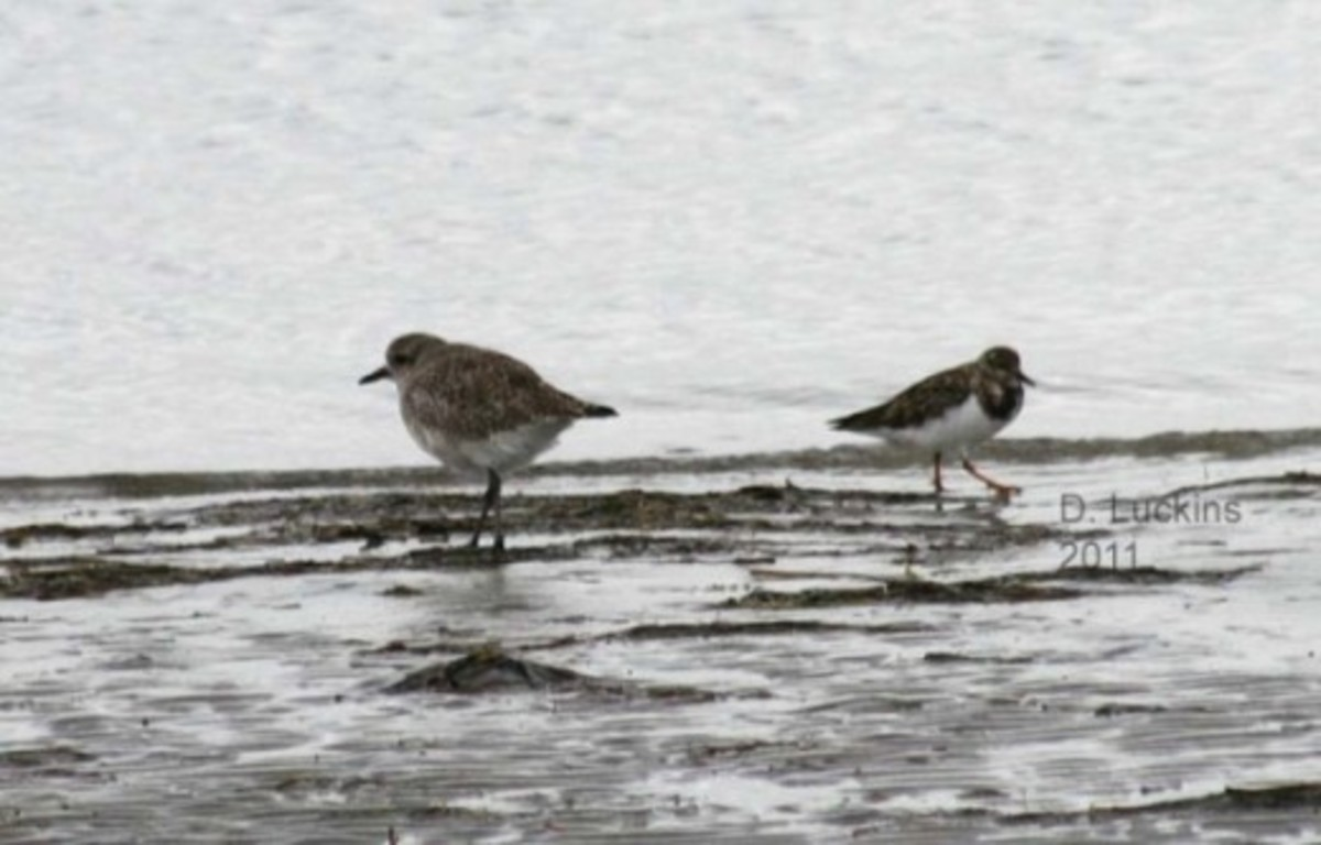 Ruddy turnstone and a black-bellied plover.