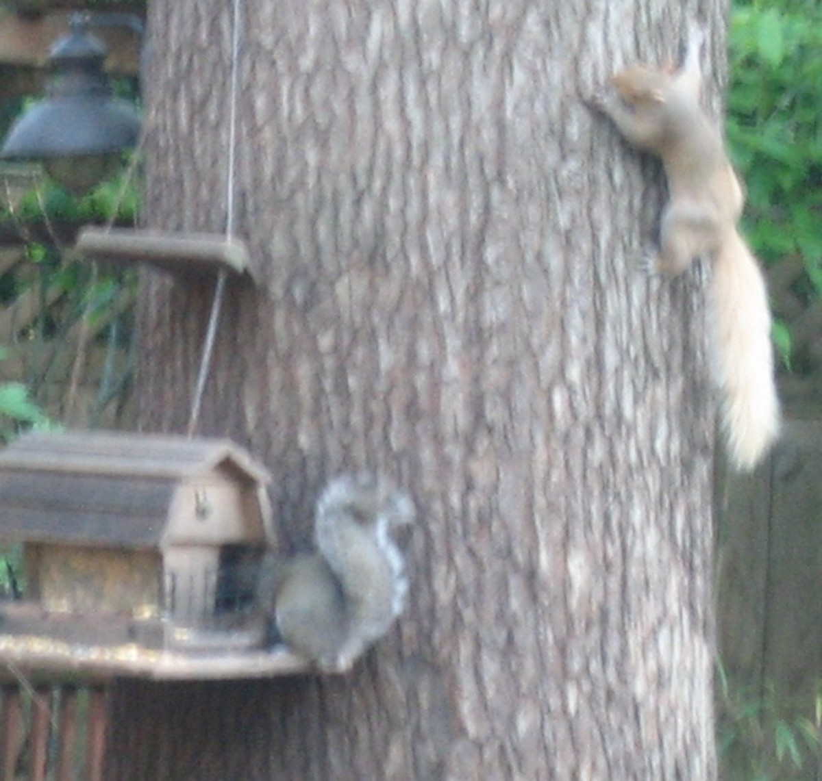 Blondie and typically-colored gray squirrel