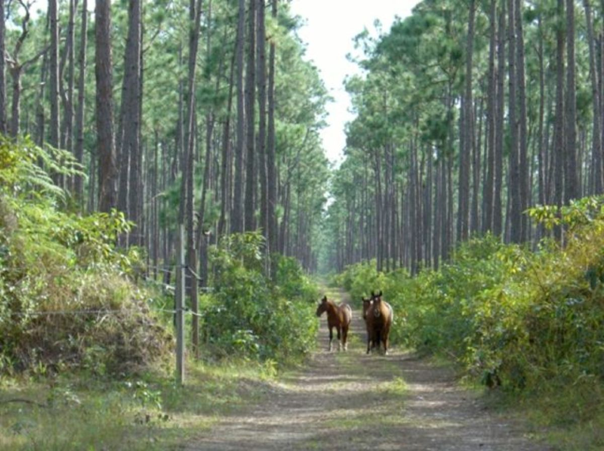 the-abaco-barb-rarest-of-all-horse-breeds