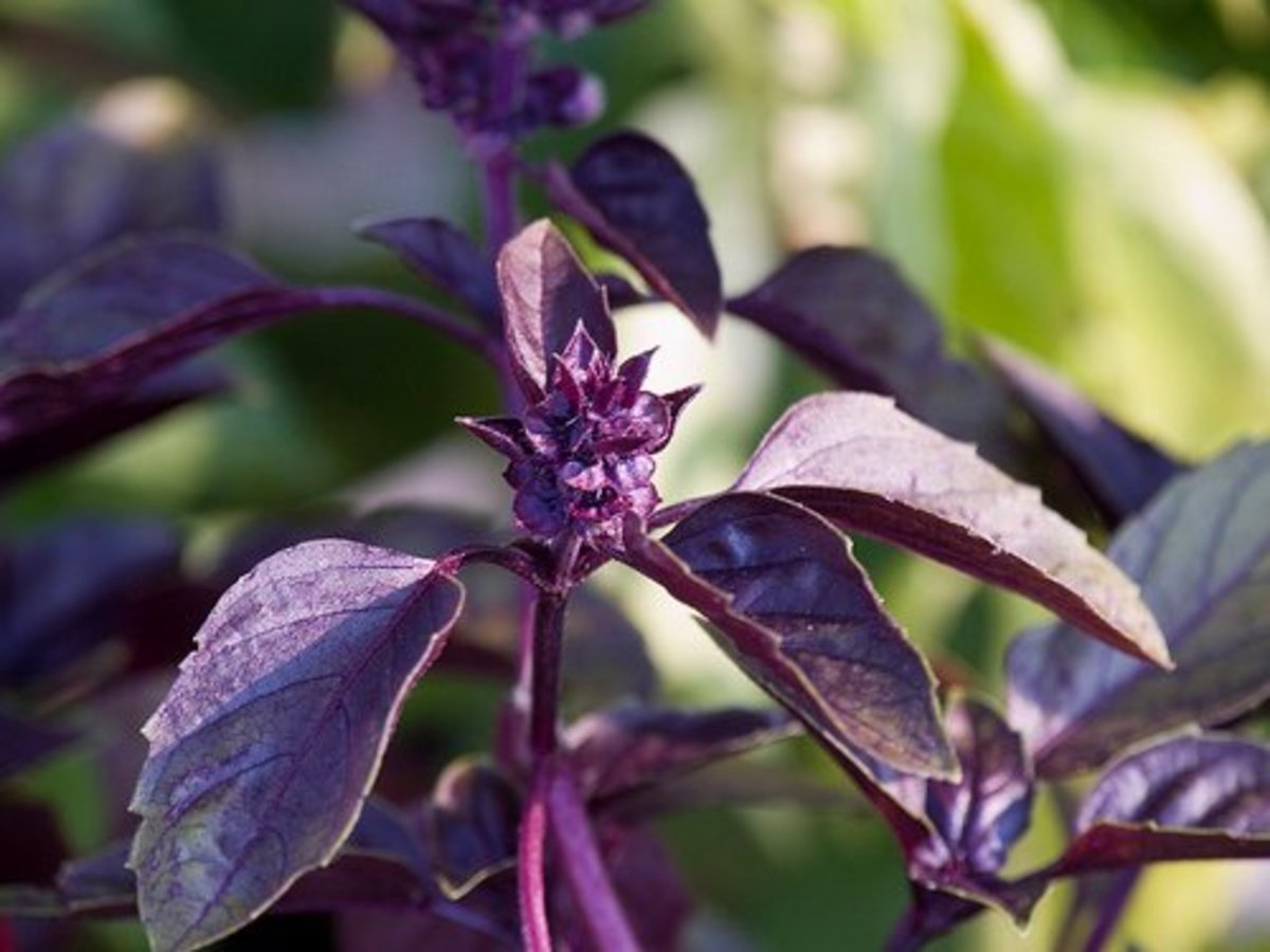 Heirloom Purple Basil