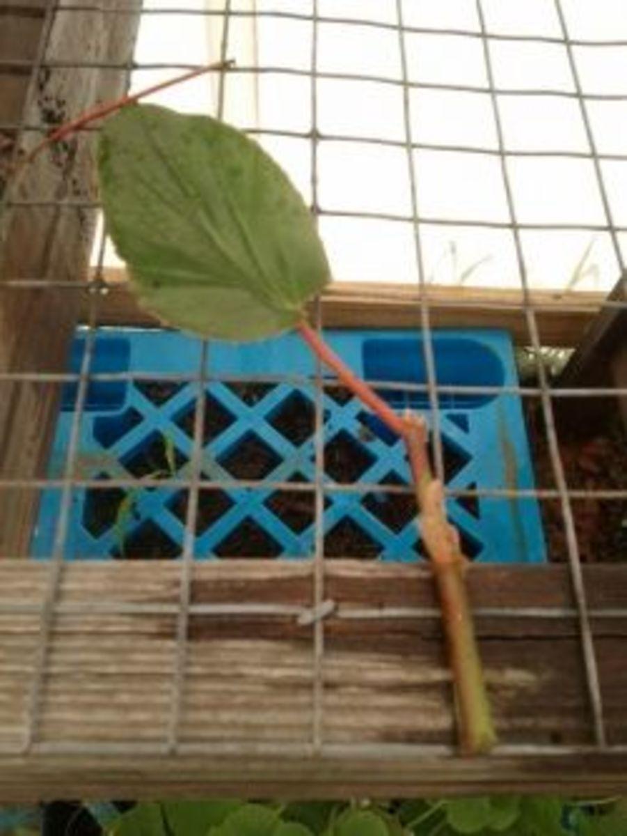 begonia-cutting