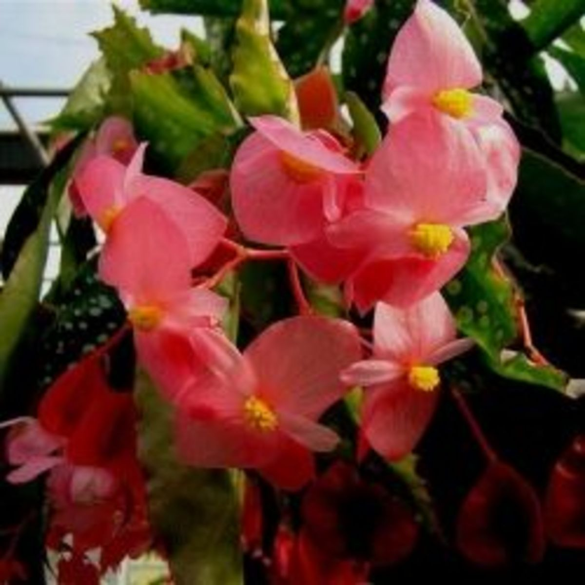 how-to-grow-begonias-from-cuttings