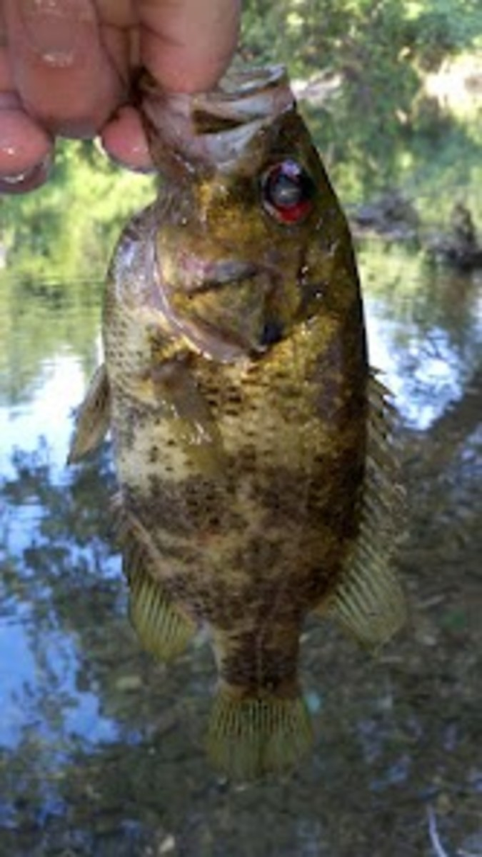 fishing-for-goggle-eye-the-underdog-of-the-bass-fishing-world