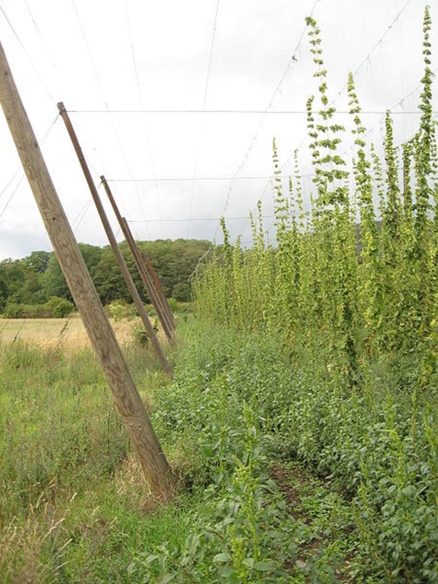 Hop Vines In This Photo