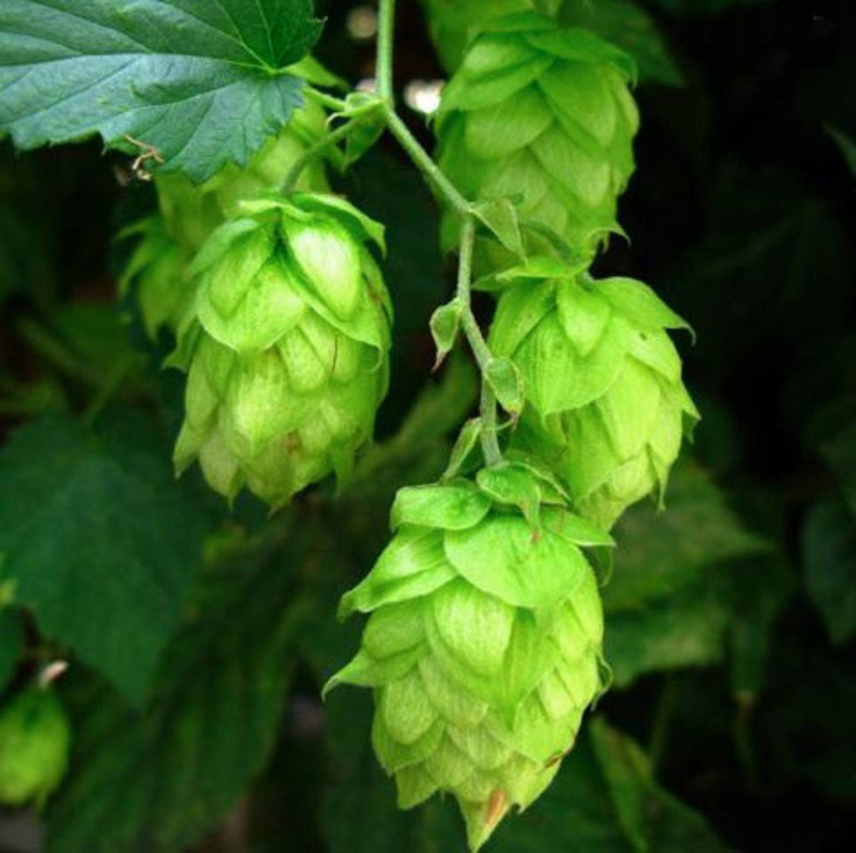 Natural Home Remedies Hops