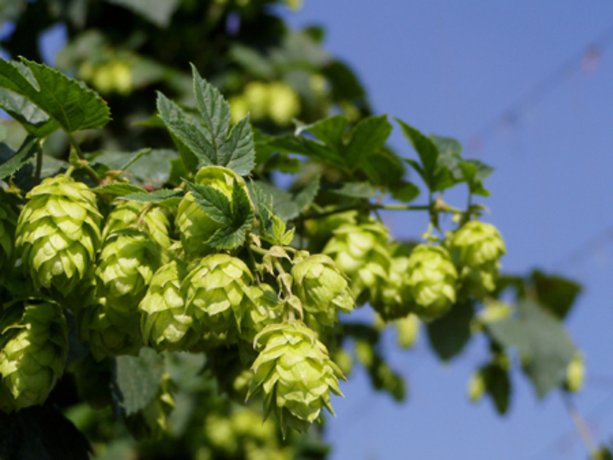 Hops Growing On A Vine.