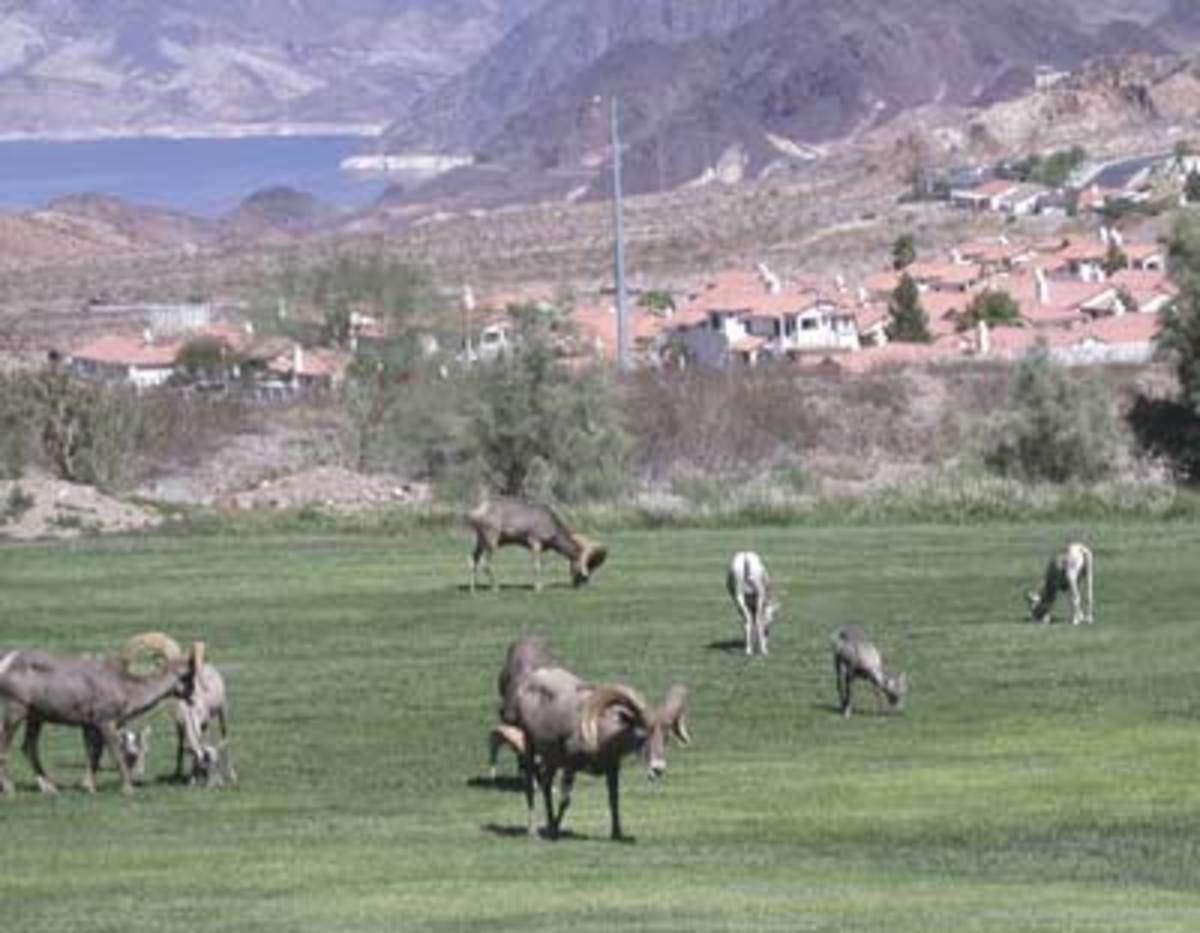 "Bighorn sheep make their way down the mountain every day and stop in Hemenway Park in Boulder City to ""graze"" on the grass there. The best times to see them are early morning and early evening, when it is not so hot outside."