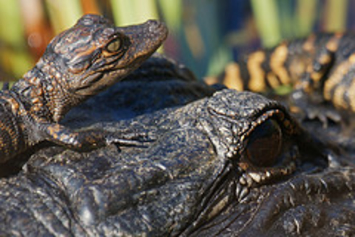 Baby alligators get a ride on the back of their mothers.