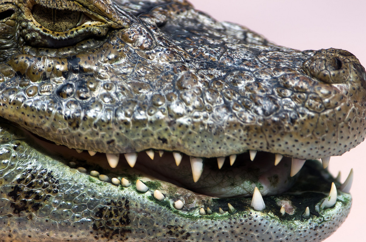 Alligators release heat by gaping.  They also give a warning by hissing.