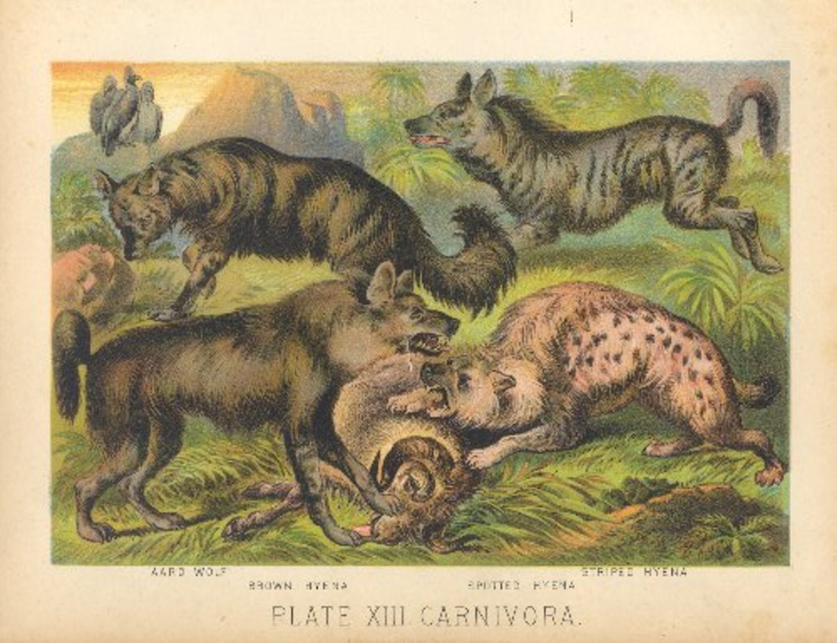 All four extant species of hyenas. Book Plate Illustration from Johnson's Book of Nature, 1880.