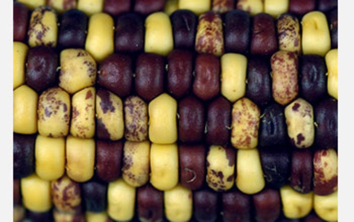 Transposons in Corn