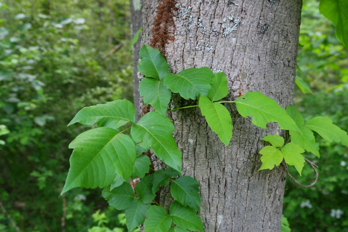 How to Identify Poison Ivy: Images and Treatment