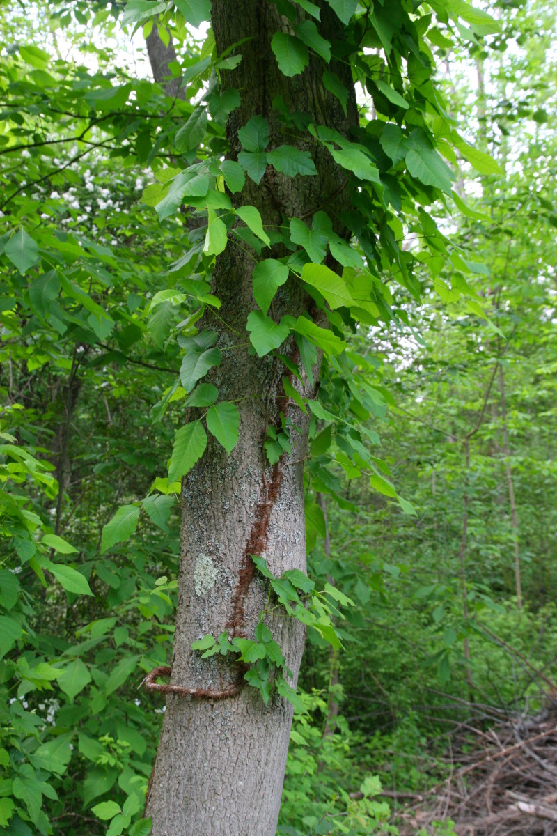 """Poison ivy scales a tree: note the characteristic reddish, hairy """"rope"""" - avoid contact with this plant at all costs!"""
