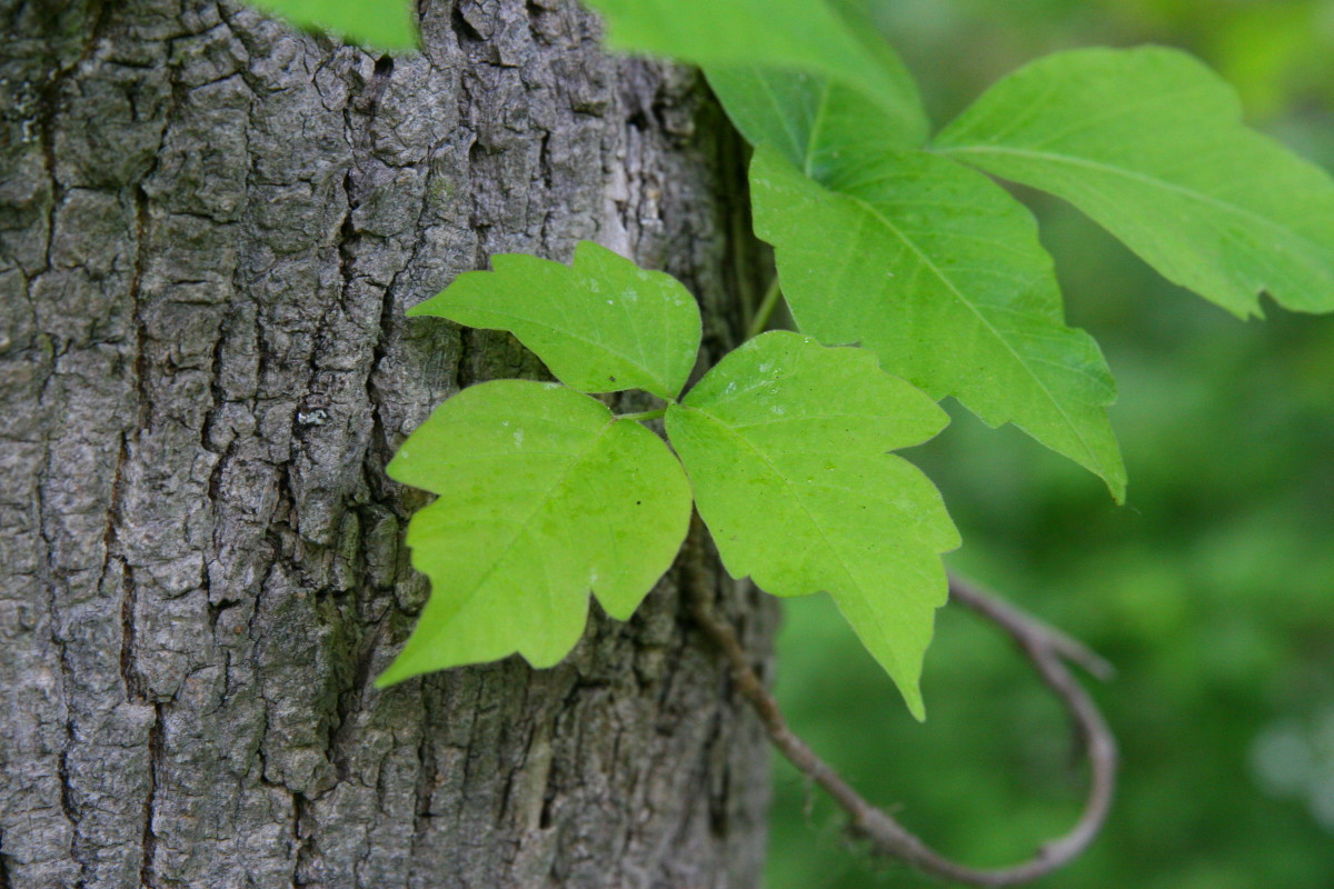 """The side leaflet exhibits the """"mitten with a thumb"""" shape characteristic of Poison Ivy."""
