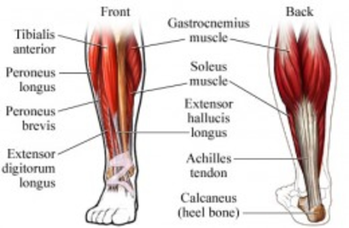 Anatomy of the Calves