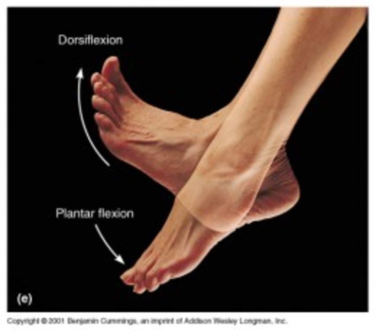 Difference in Plantarflexion and Dorsiflexion