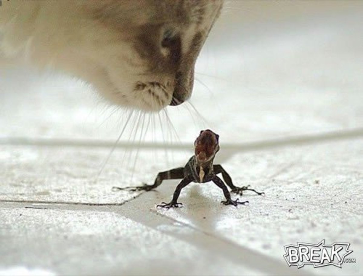 Cats can easily dispose of your lizard problem.