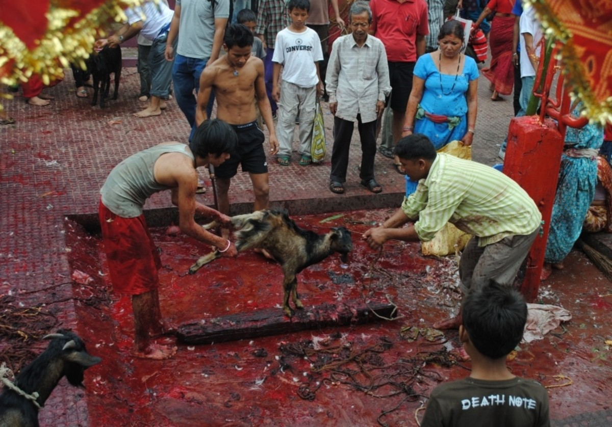 Nepal is predominantly Hindu. Animal sacrifice is common amongst the Hindus.