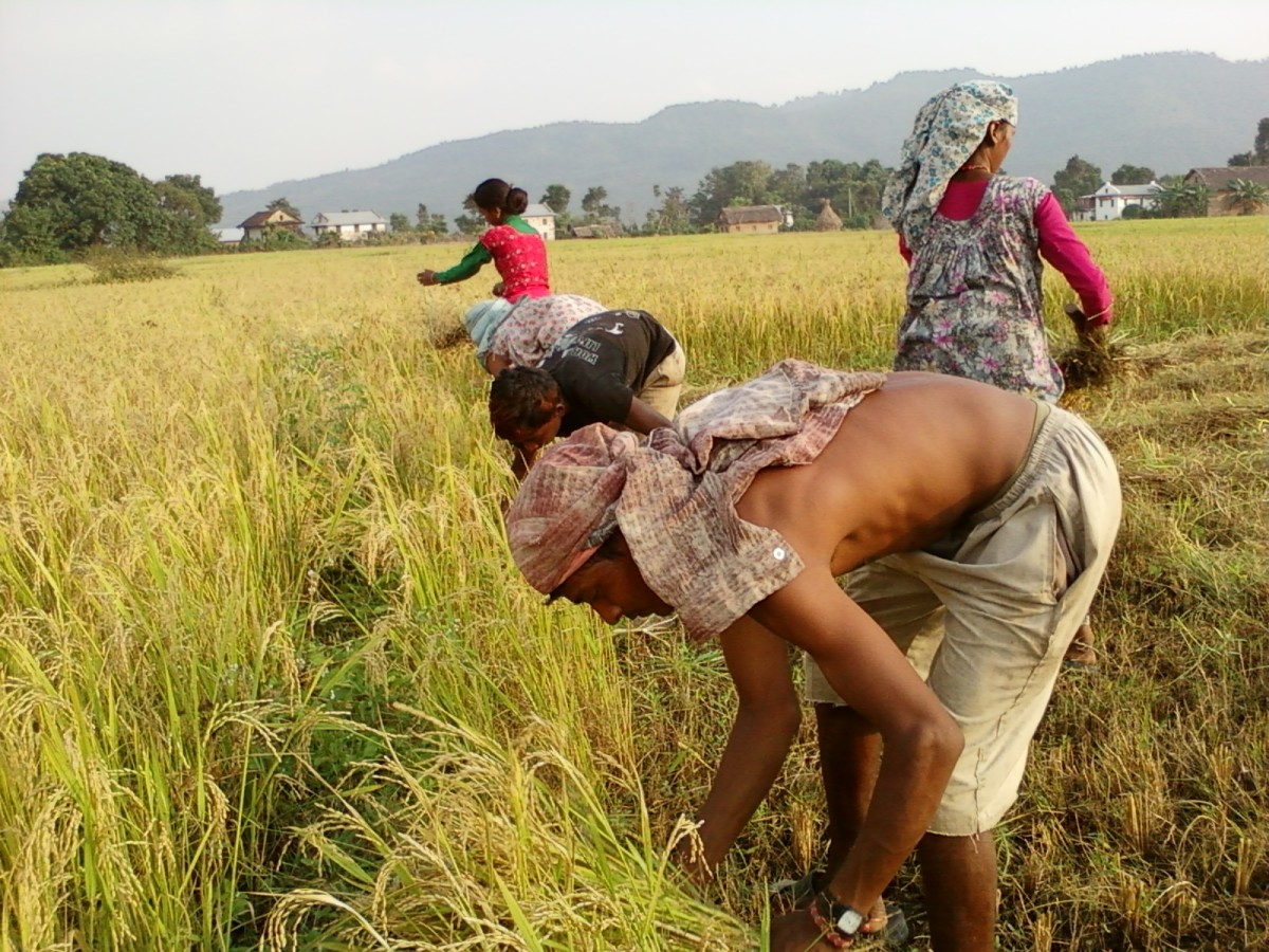 A paddy field in Nepal