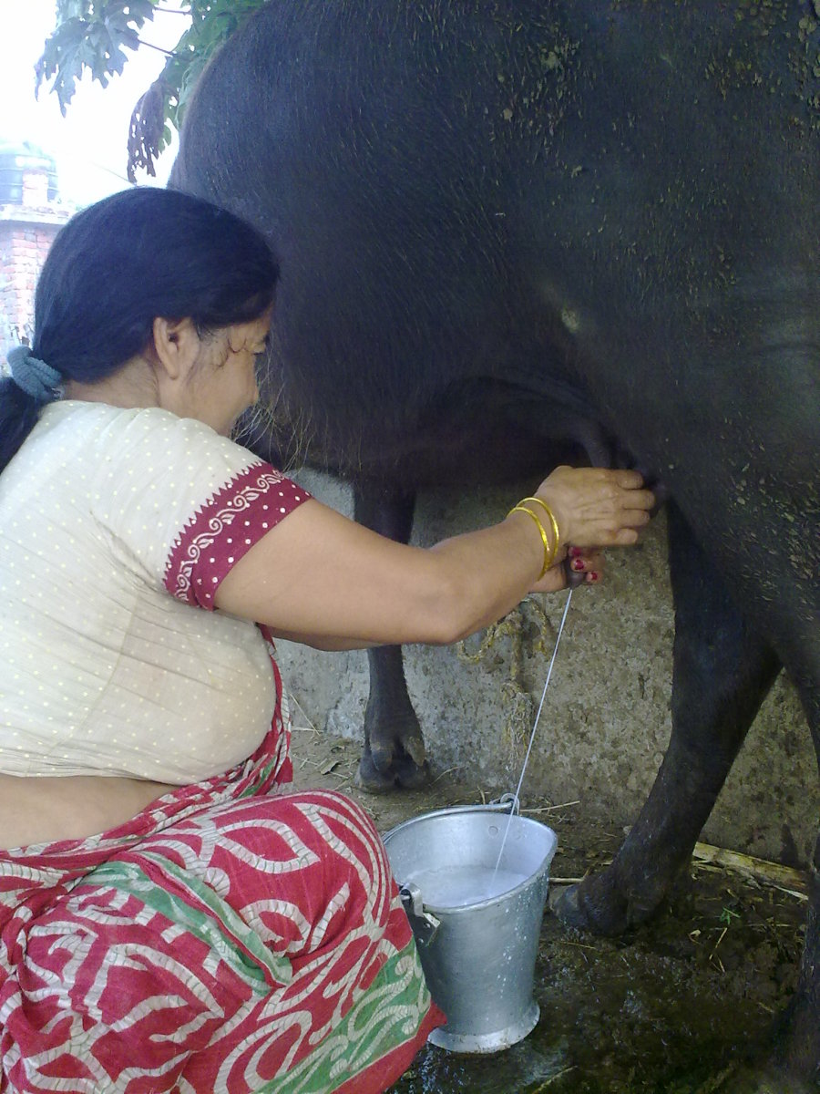 Hand milking a water buffalo