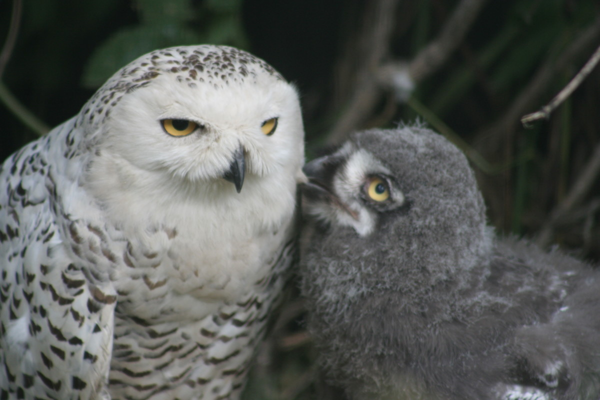 Mother Snowy Owl with owlet.
