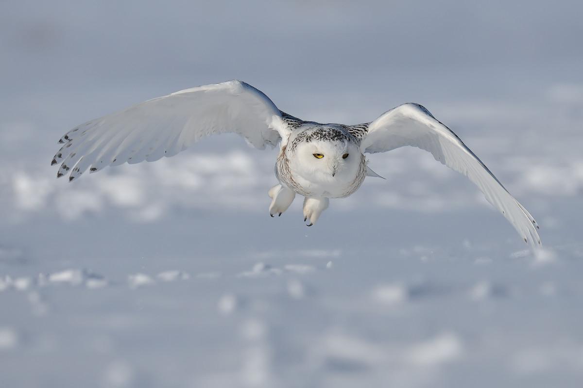 The Snowy Owl in flight