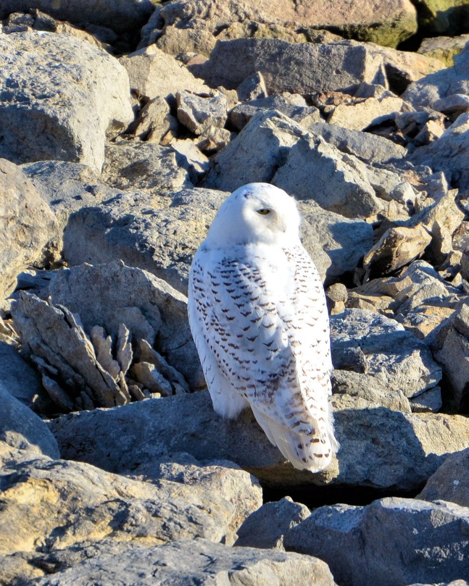 Notice how this Snowy Owl has his head turned almost completely  behind him.