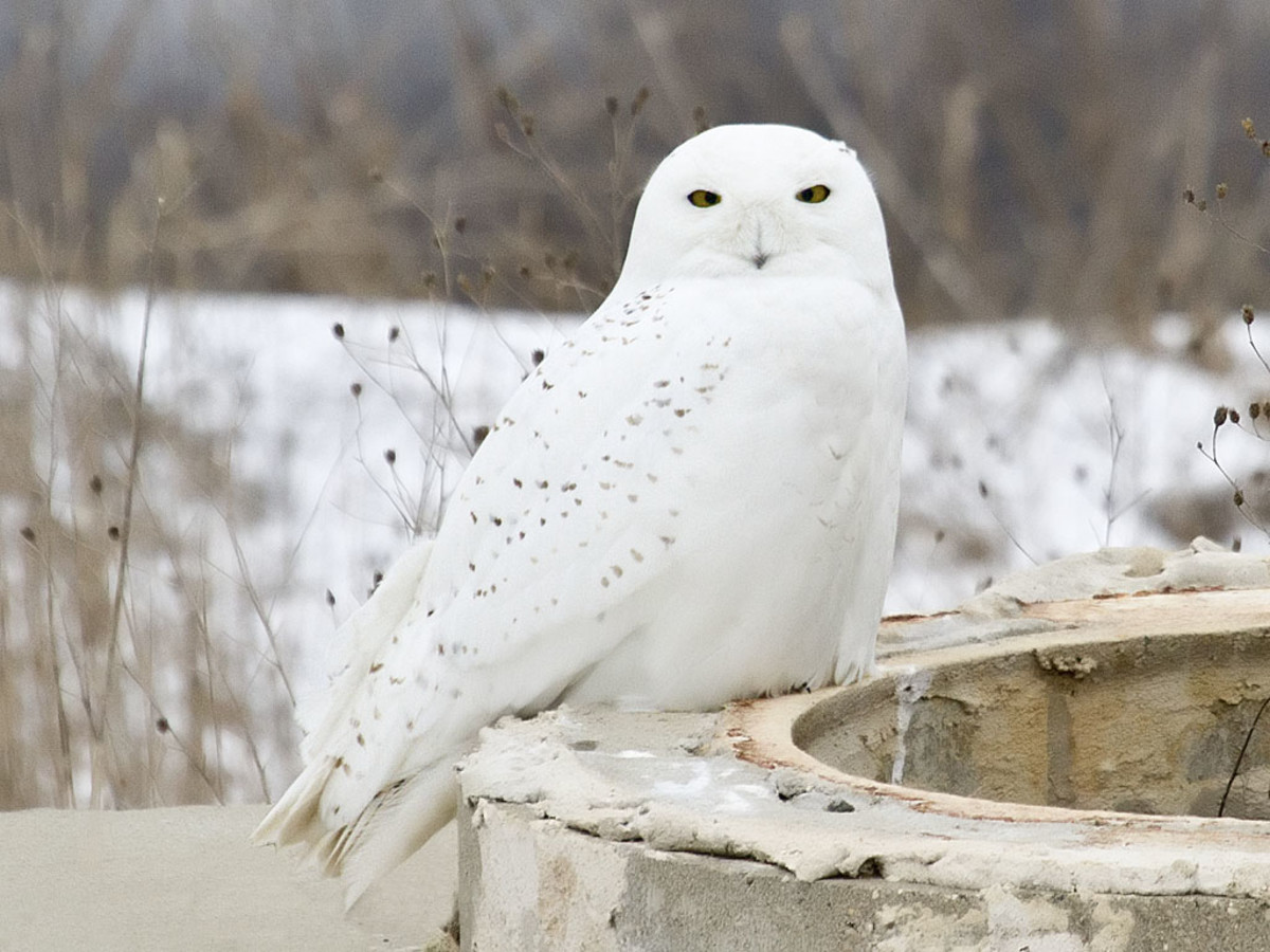The male Snowy Owl.