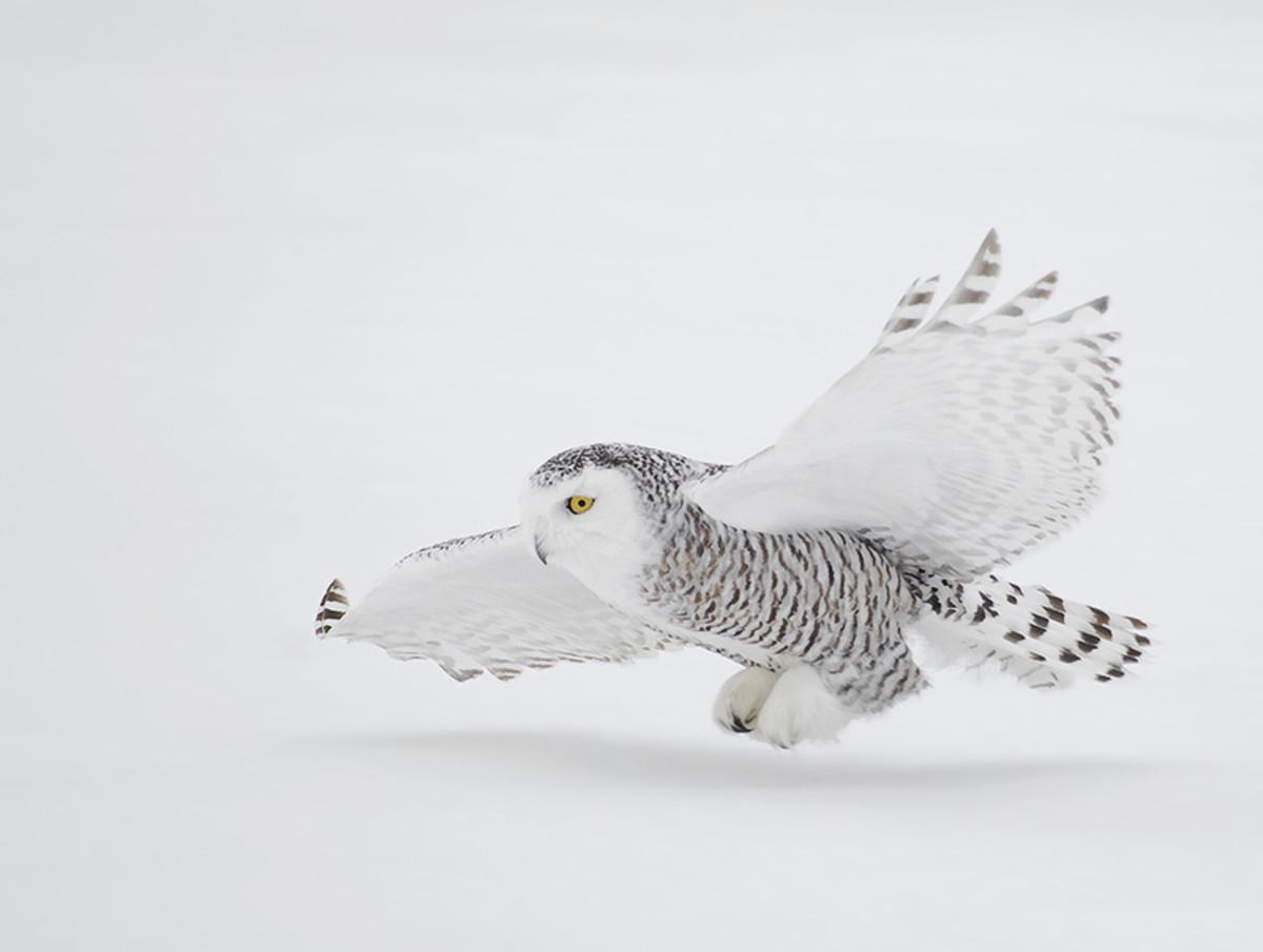Snowy Owl in flight.