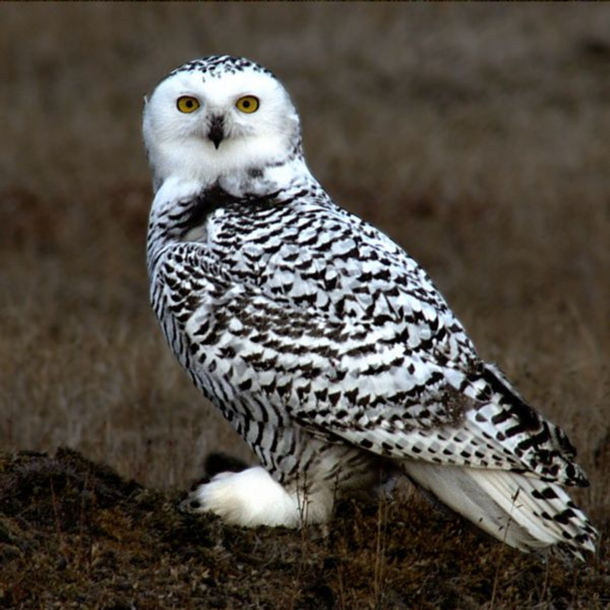 A young Snowy Owl in Alaska.