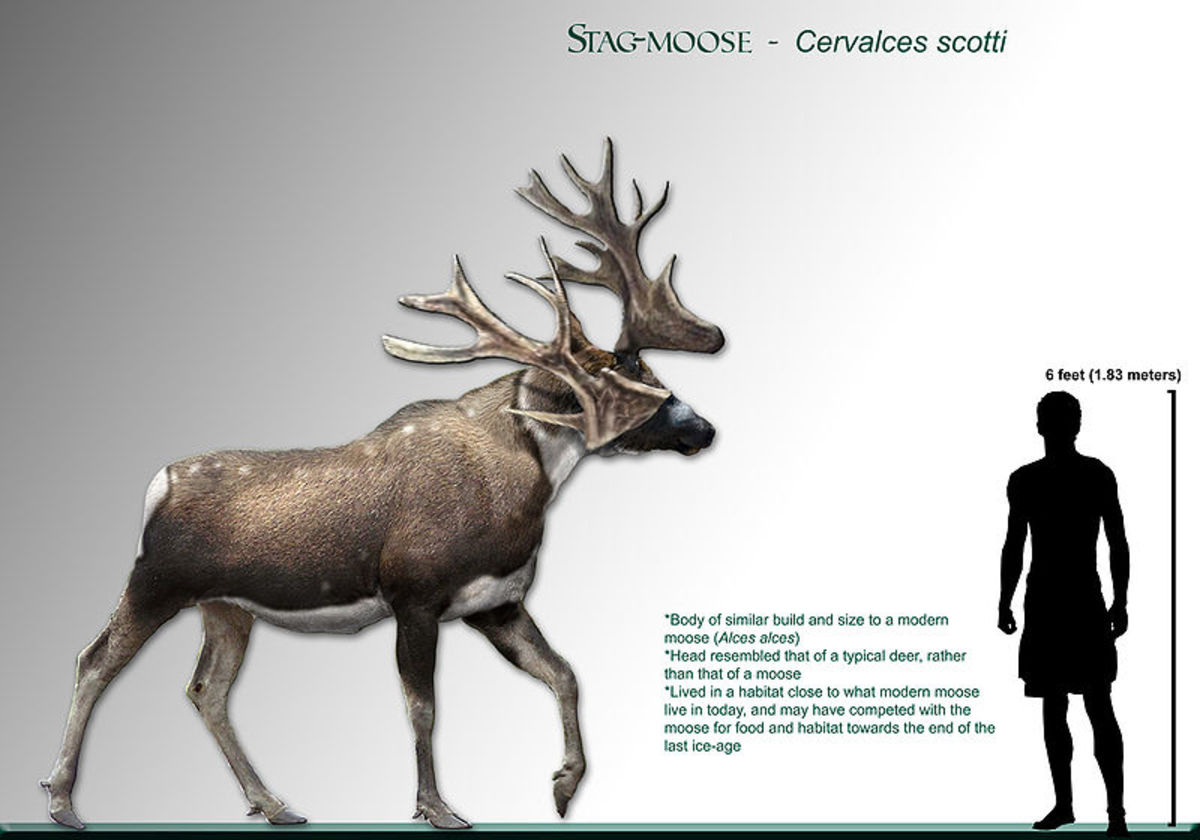 This weird creature known as the stag-moose had a moose like body, with a head and antlers more typical of a deer.