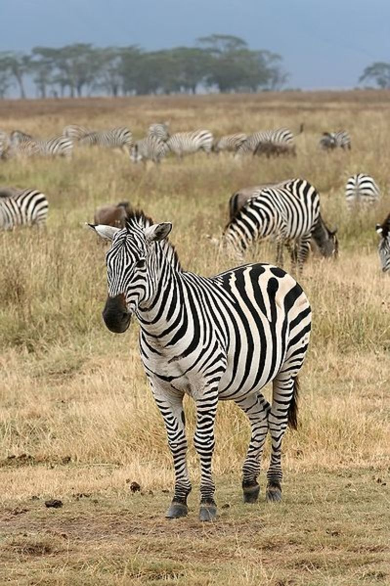 The ancestors of the zebra originally evolved in North America some 4 million years ago, before migrating to Eurasia and Africa, evolving and adapting along the way.