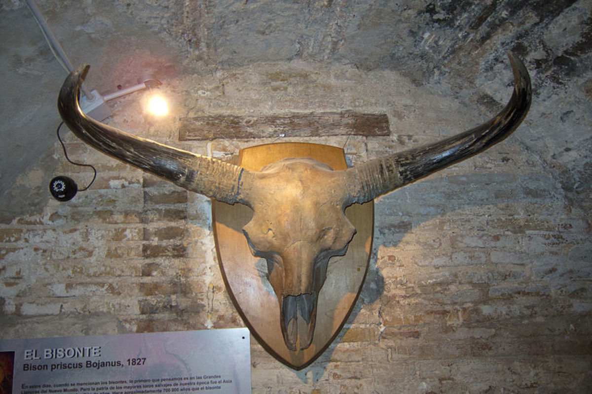 The skull of the long horned bison, the giant cousin of today's modern bison.