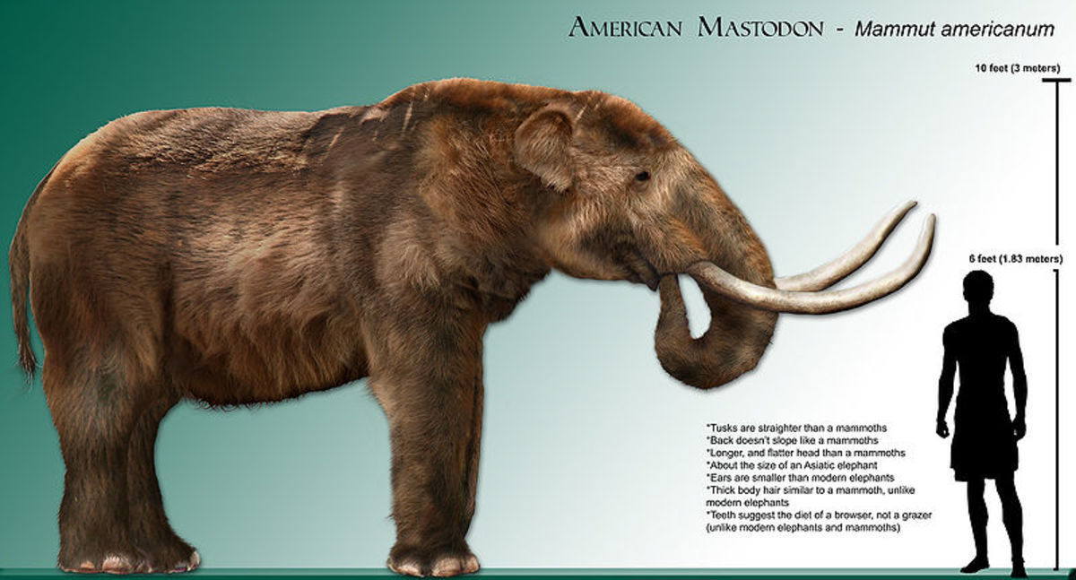 The mastodon was the smallest of the elephants and was more of a browser than a grazer.