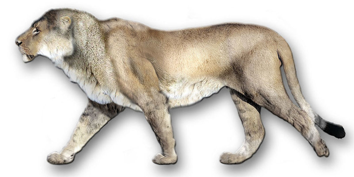 A reconstruction of the American Lion, the biggest cat of them all.