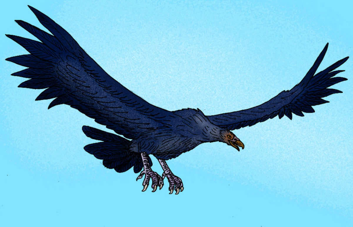 The magnificant teratorn- one of the biggest birds ever to take to the air and the possible source for the famous Thunderbird legend.