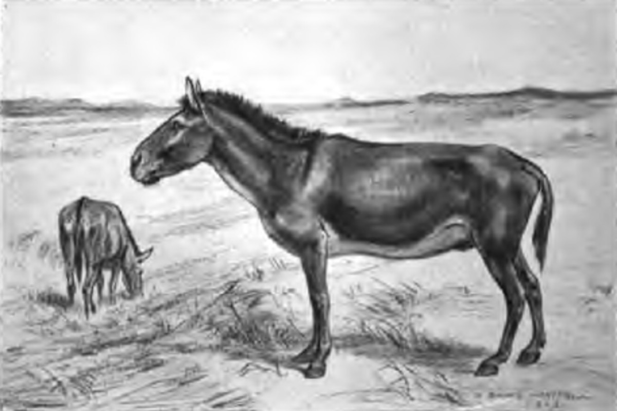 An artists restoration of Equus scotti, the indigenous American horse.