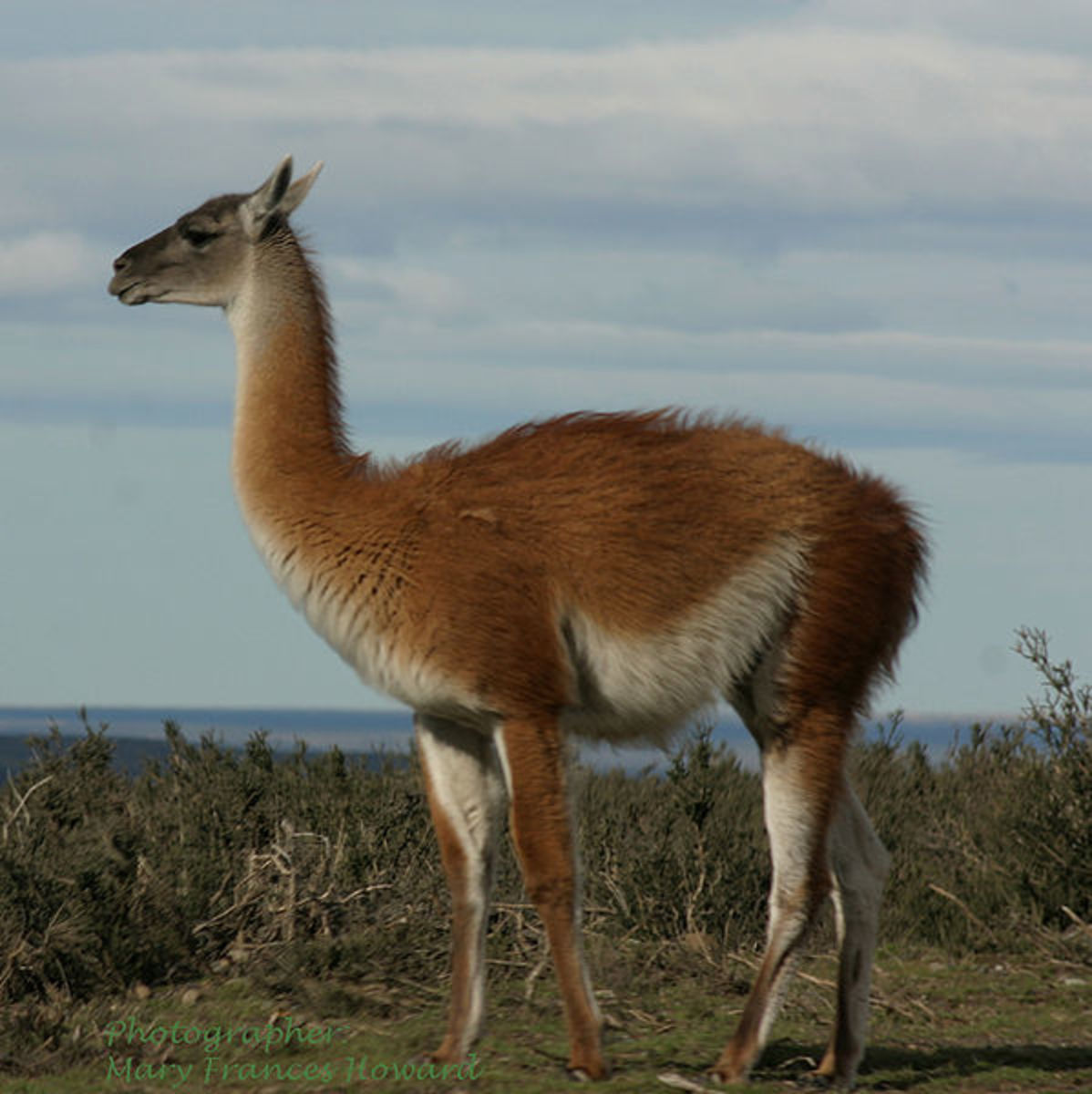 The guanaco is the ancestor of the domestic llama and a close relative of the camels. Its the last camelid living wild in the Americas today.