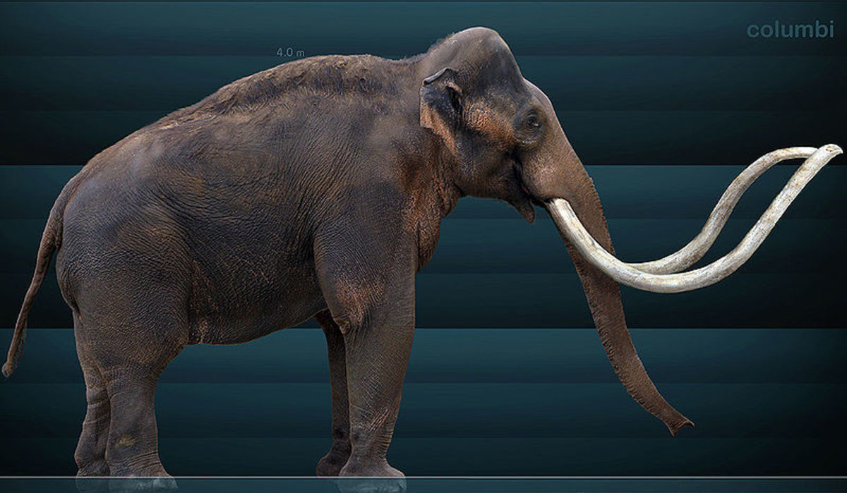 The colombian mammoth was one of the largest mammals to walk the earth, weighing over 13 tonnes and measuring more than twice the size of a grown man at the shoulder.