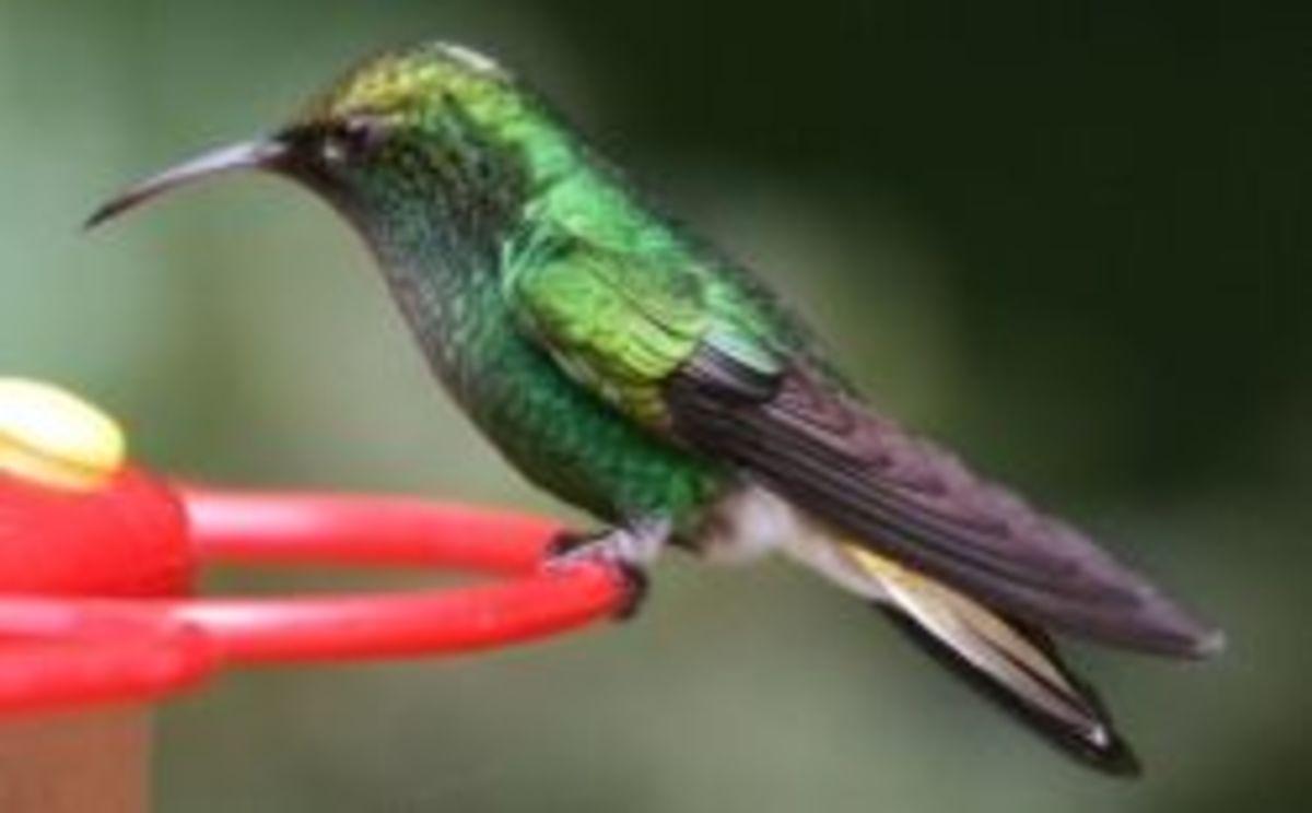 Hummingbird perched at a feeder